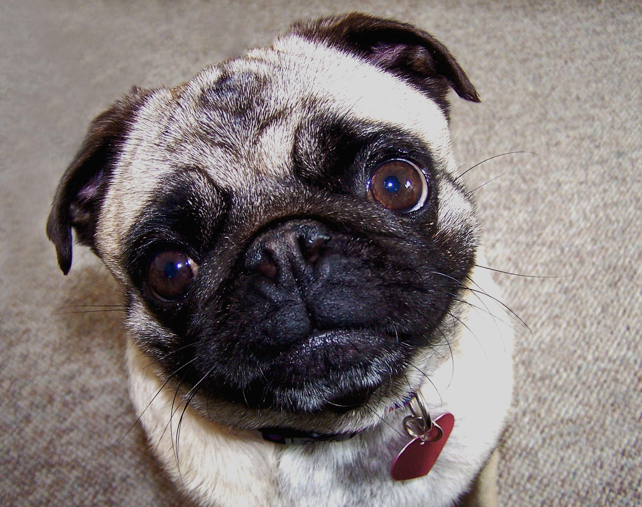 100_0604.jpg - Pug Face