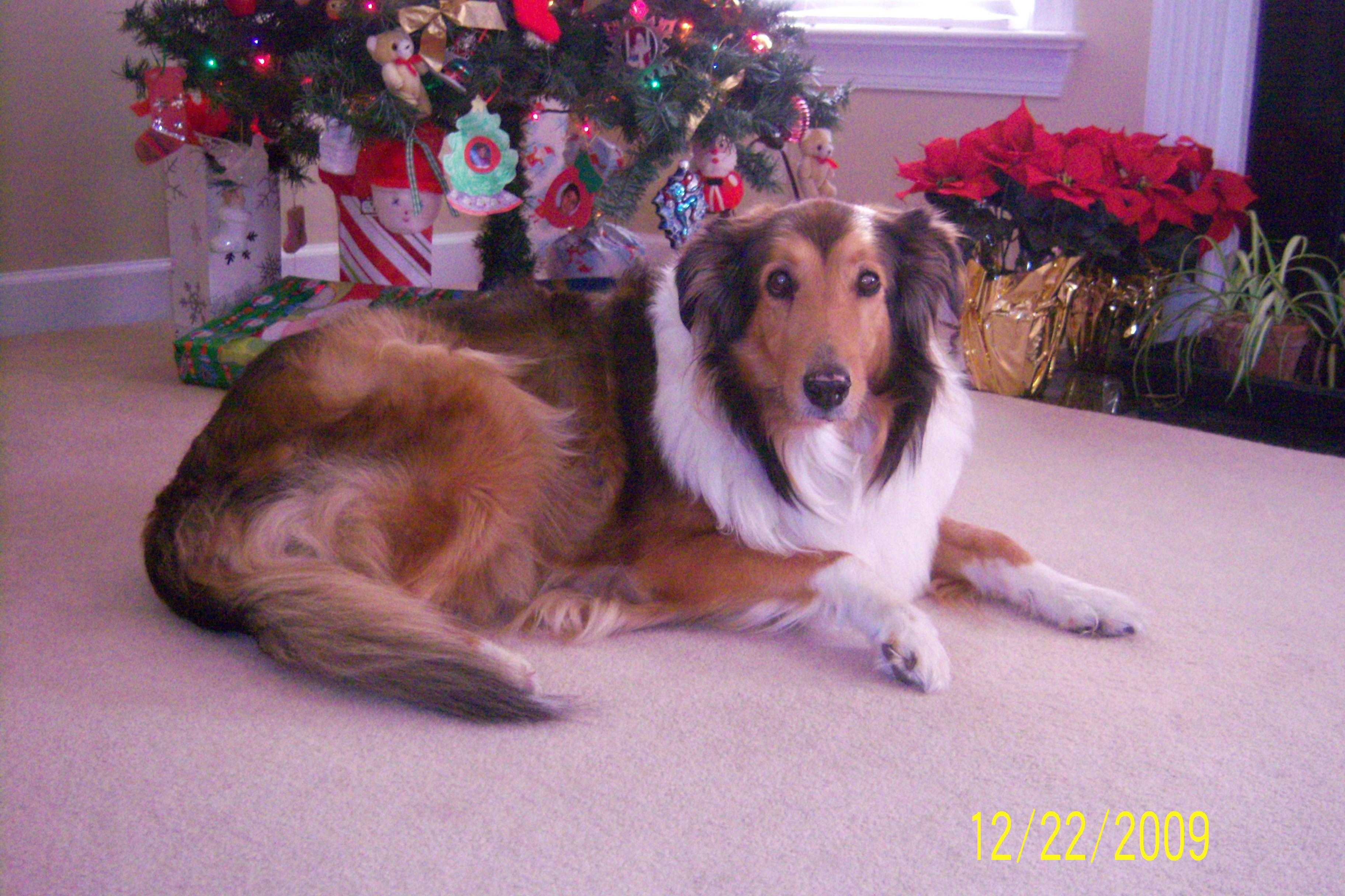 100_4212.jpg - Christmas Dog