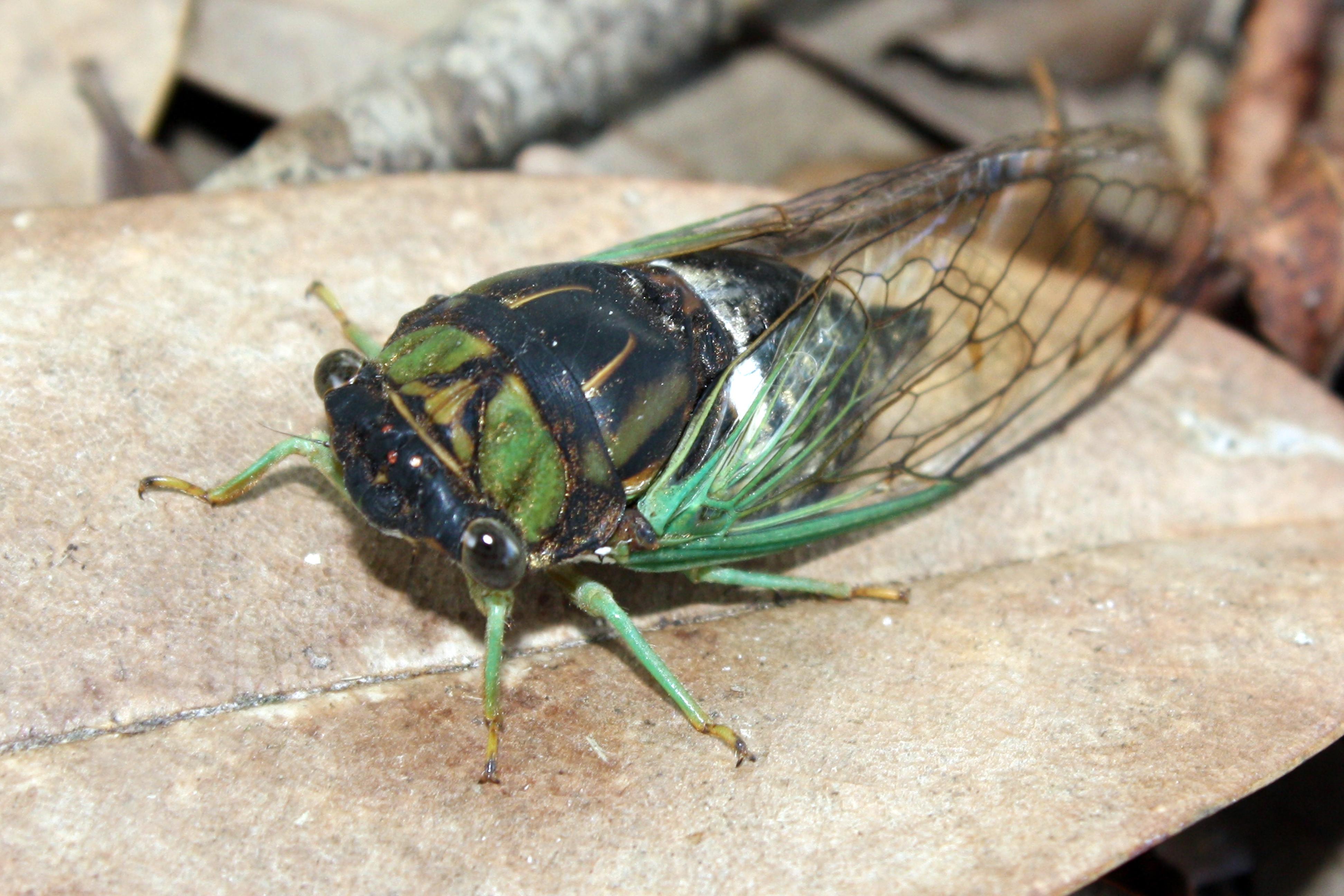 cicada - photo #35