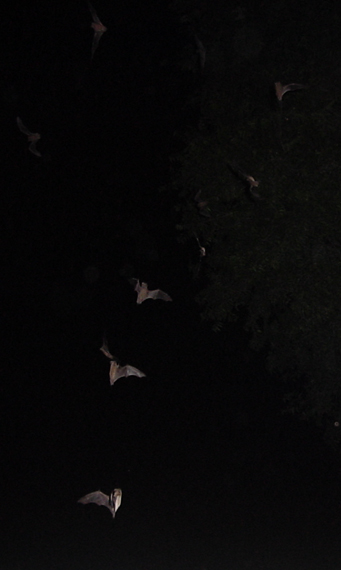Mexican Free-tailed Bats from the Congress Street Bridge