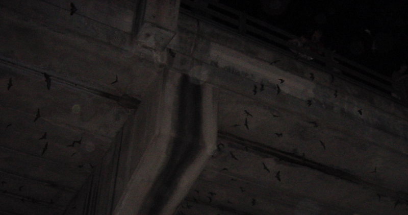 Mexican Free-tailed Bats under the Congress Avenue Bridge