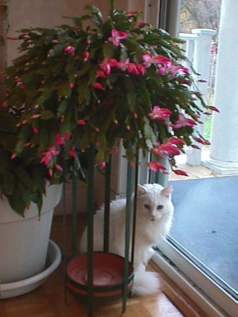 Adding to the beauty of the Christmas Cactus is the white cat who ...