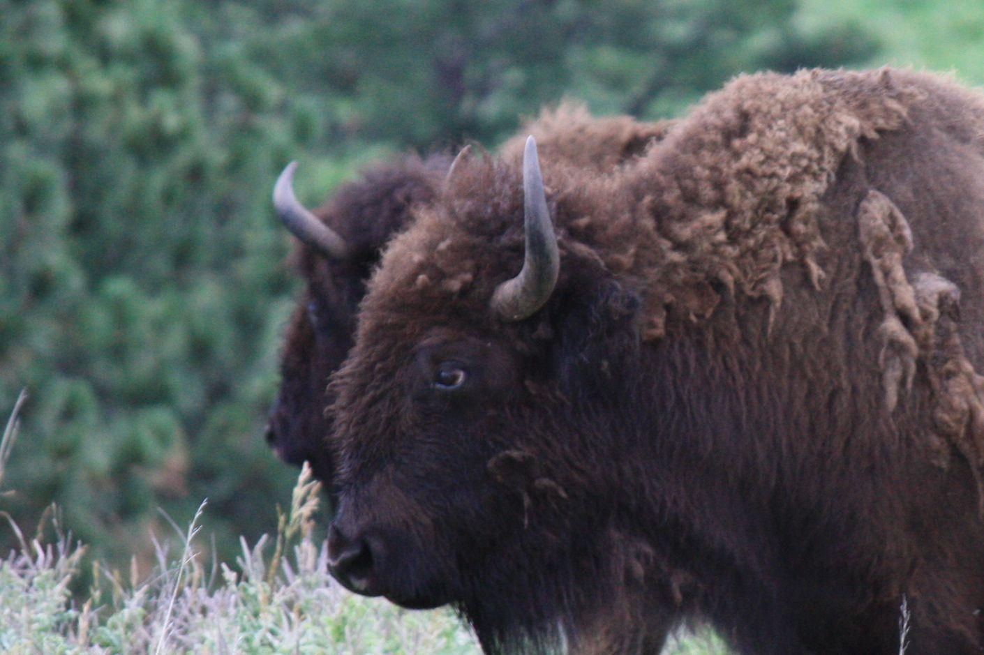 buffalo3.jpg - Buffalo