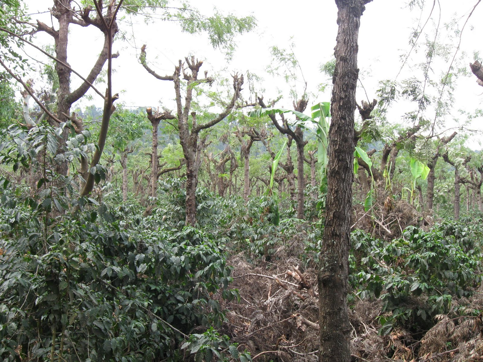 coffeeplantation.jpg - coffee plantation (the smaller coffee bushes grow in the shade of the trees)