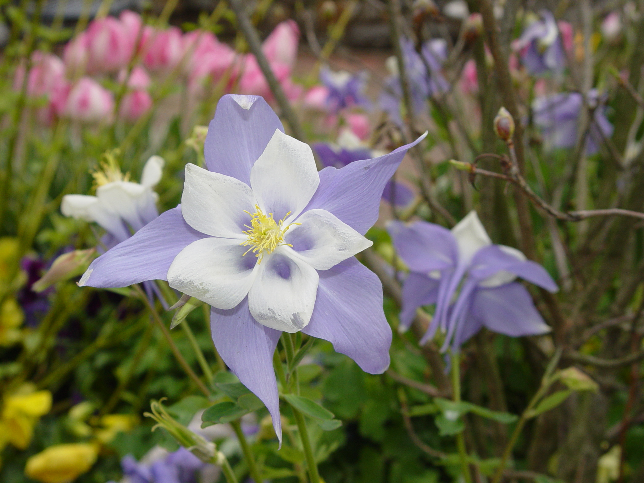 Colorado blue columbine aquilegia caerulea pics4learning colorado blue columbine aquilegia caerulea izmirmasajfo