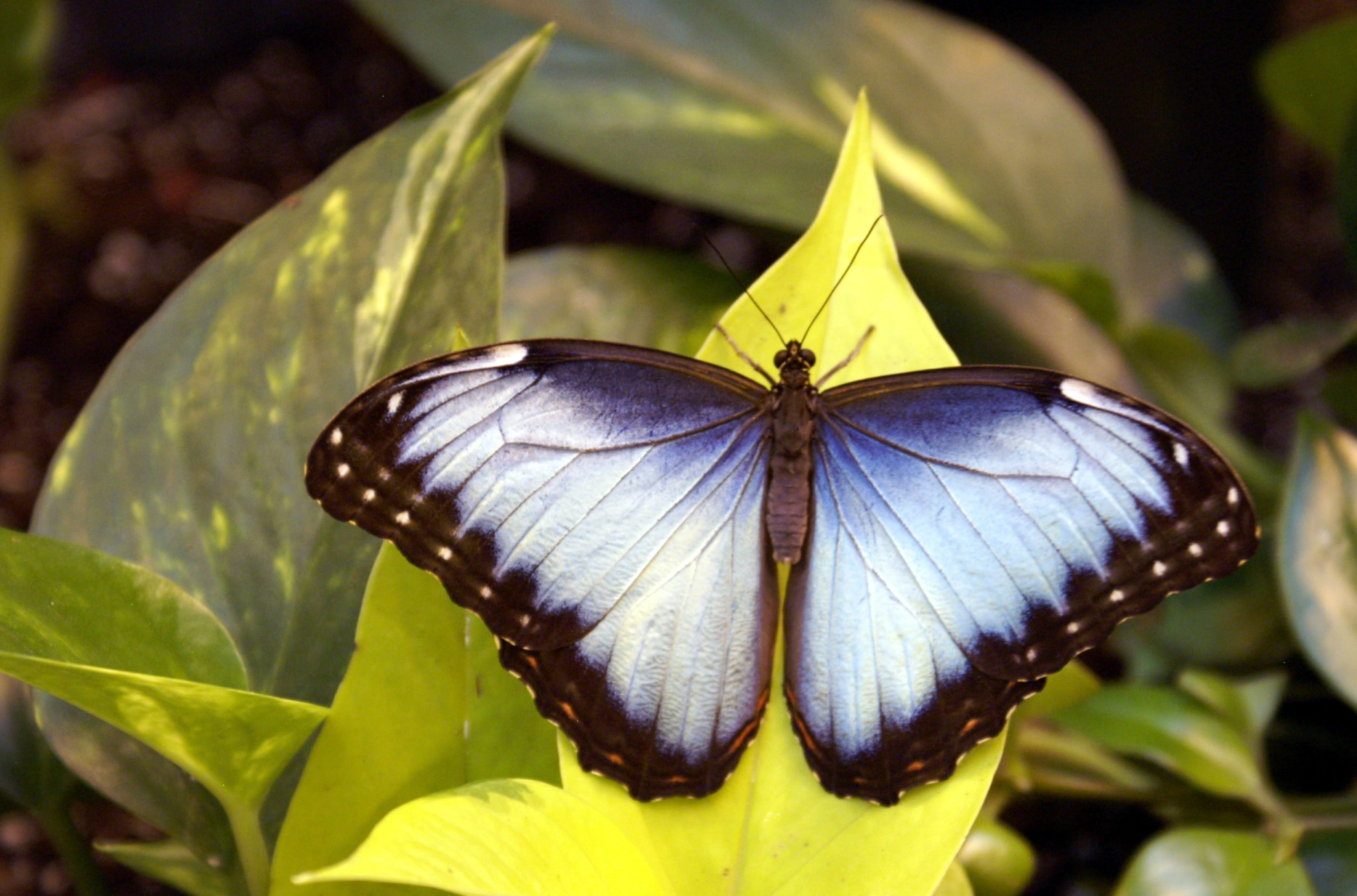 external image commonbluemorpho%281%29.jpg