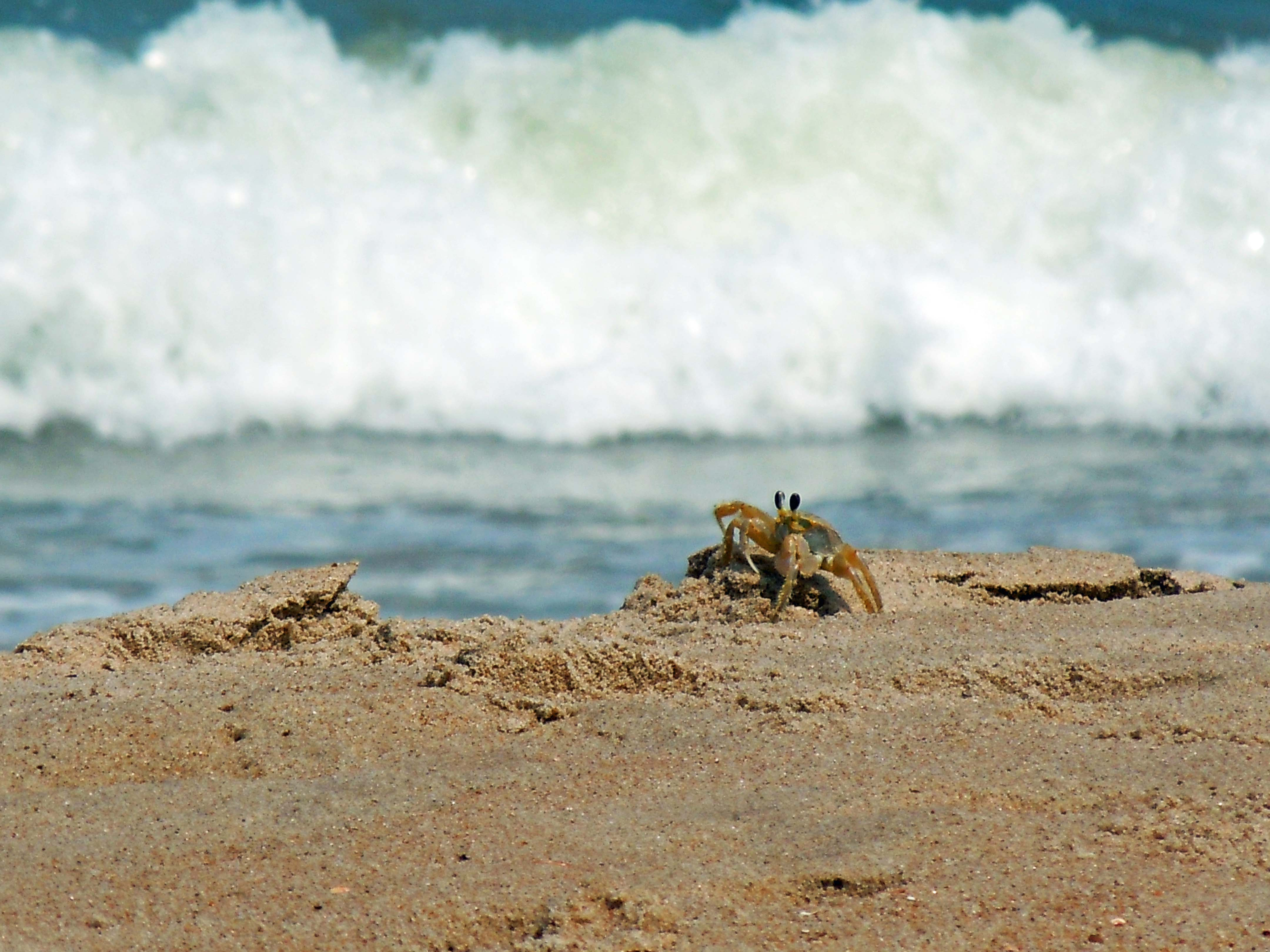 crabatdamneck7_16_10.jpg - Crab at Dam Neck Beach