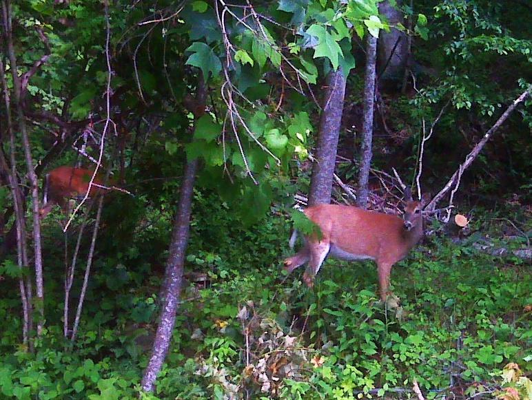 external image deer1234.jpg