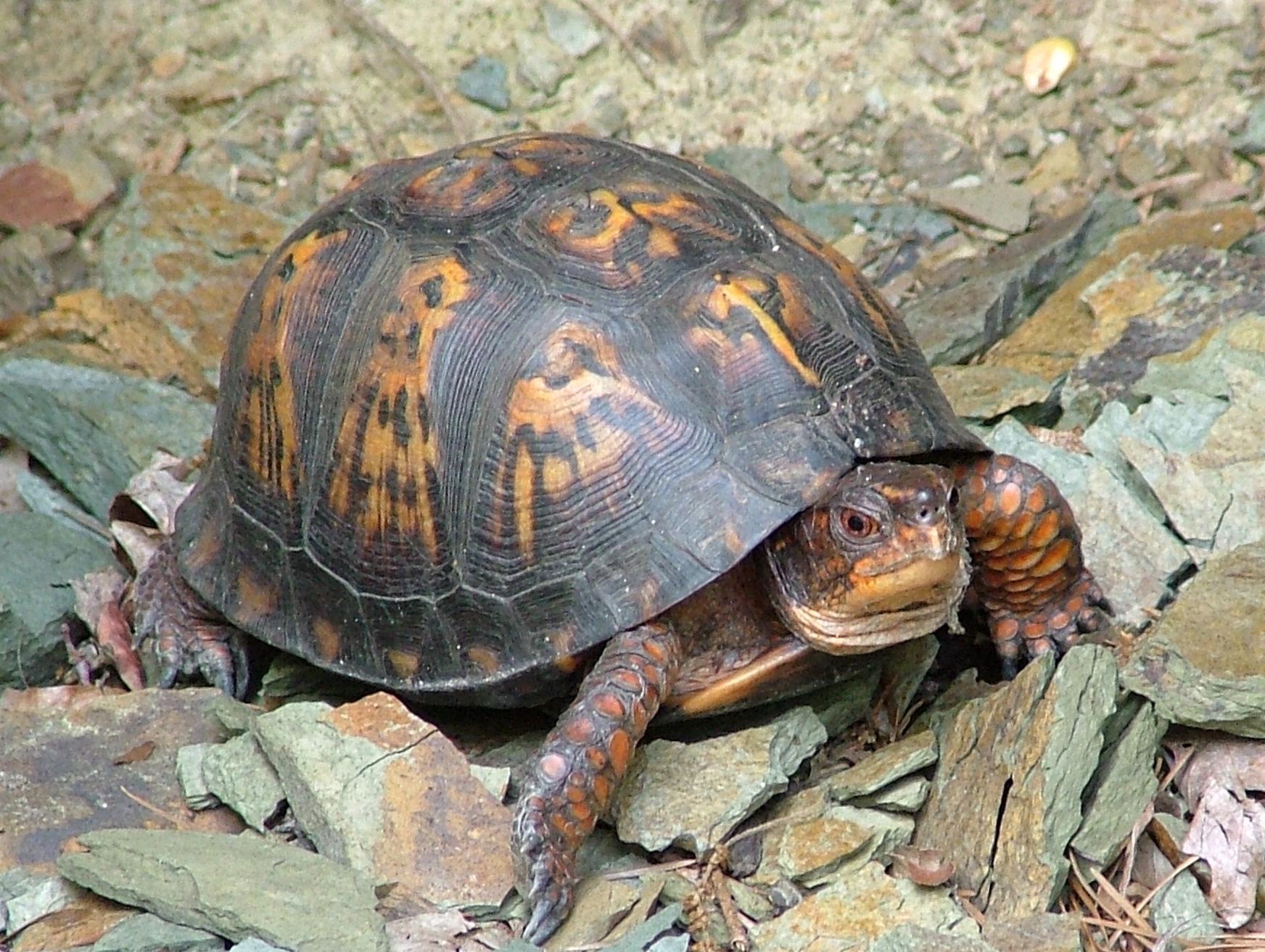 dscf3048.jpg - Box Turtle