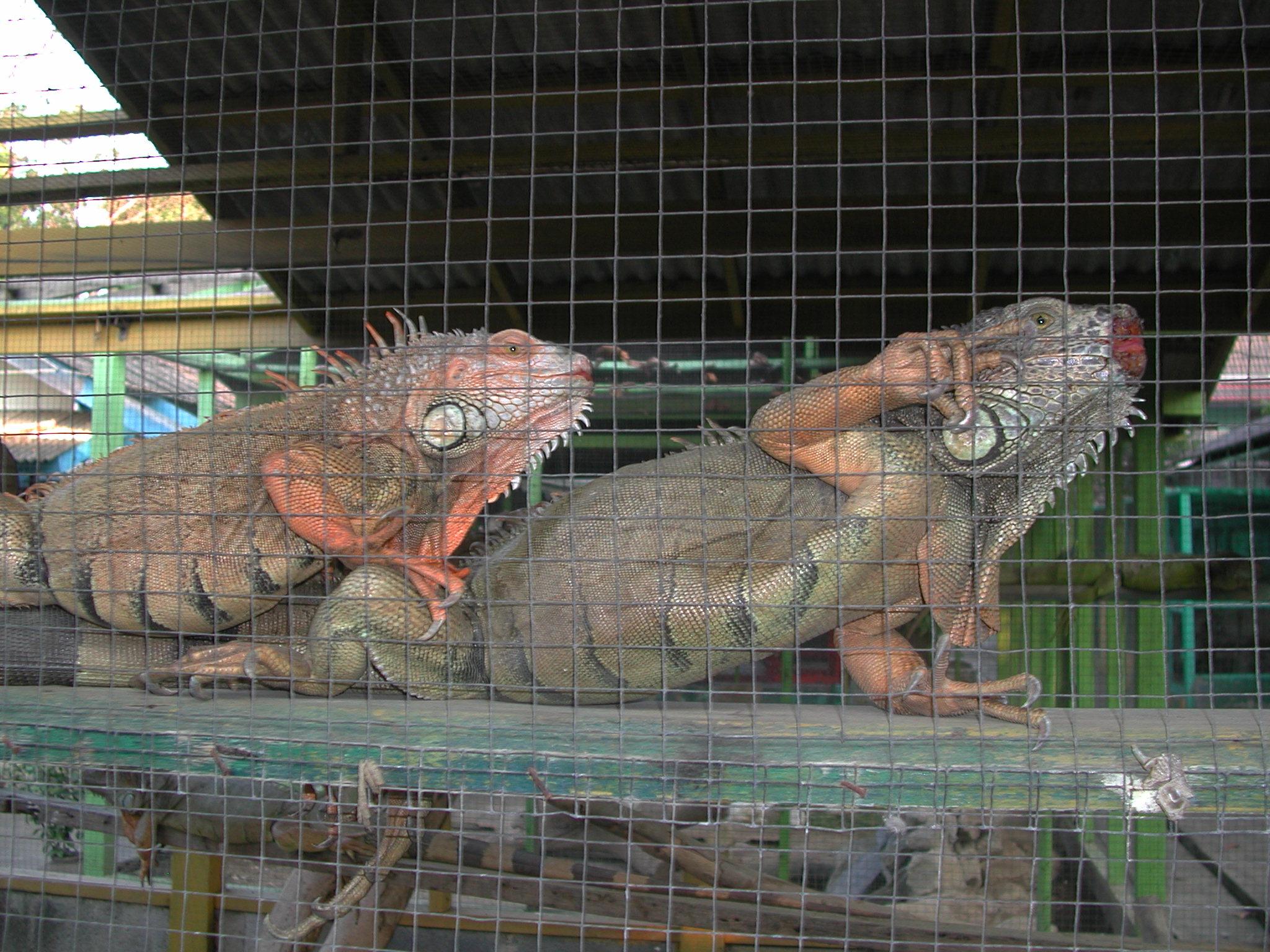dscn3388.jpg - Iguanas