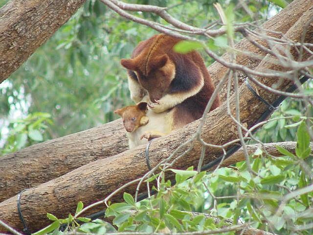 Goodfellow Tree Kangaroo and joey | Pics4Learning