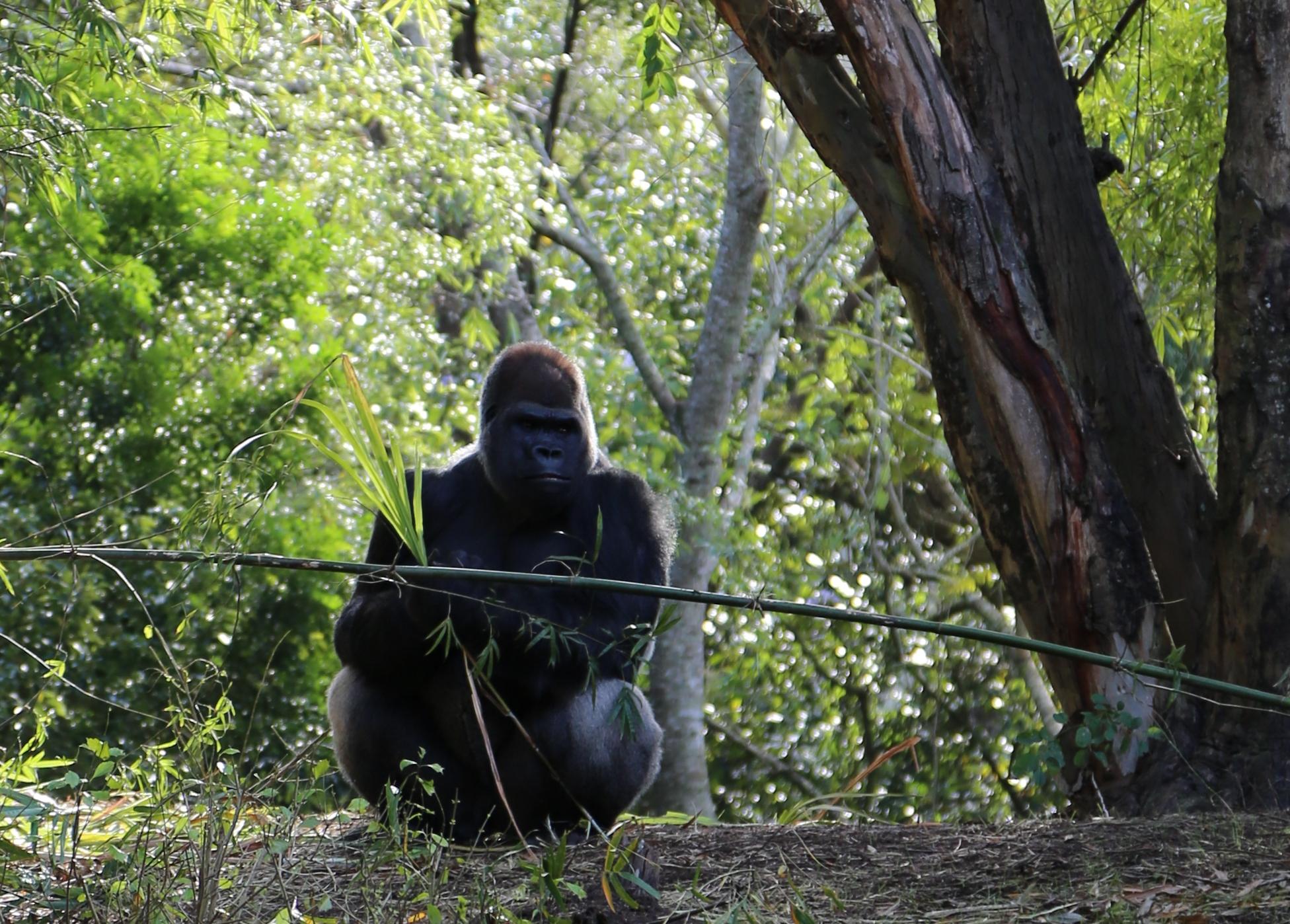 gorilla online platforms for teachers