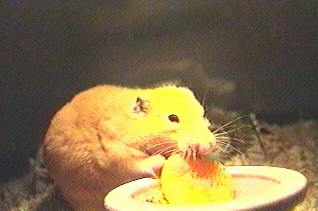 Hamster eating an apricot