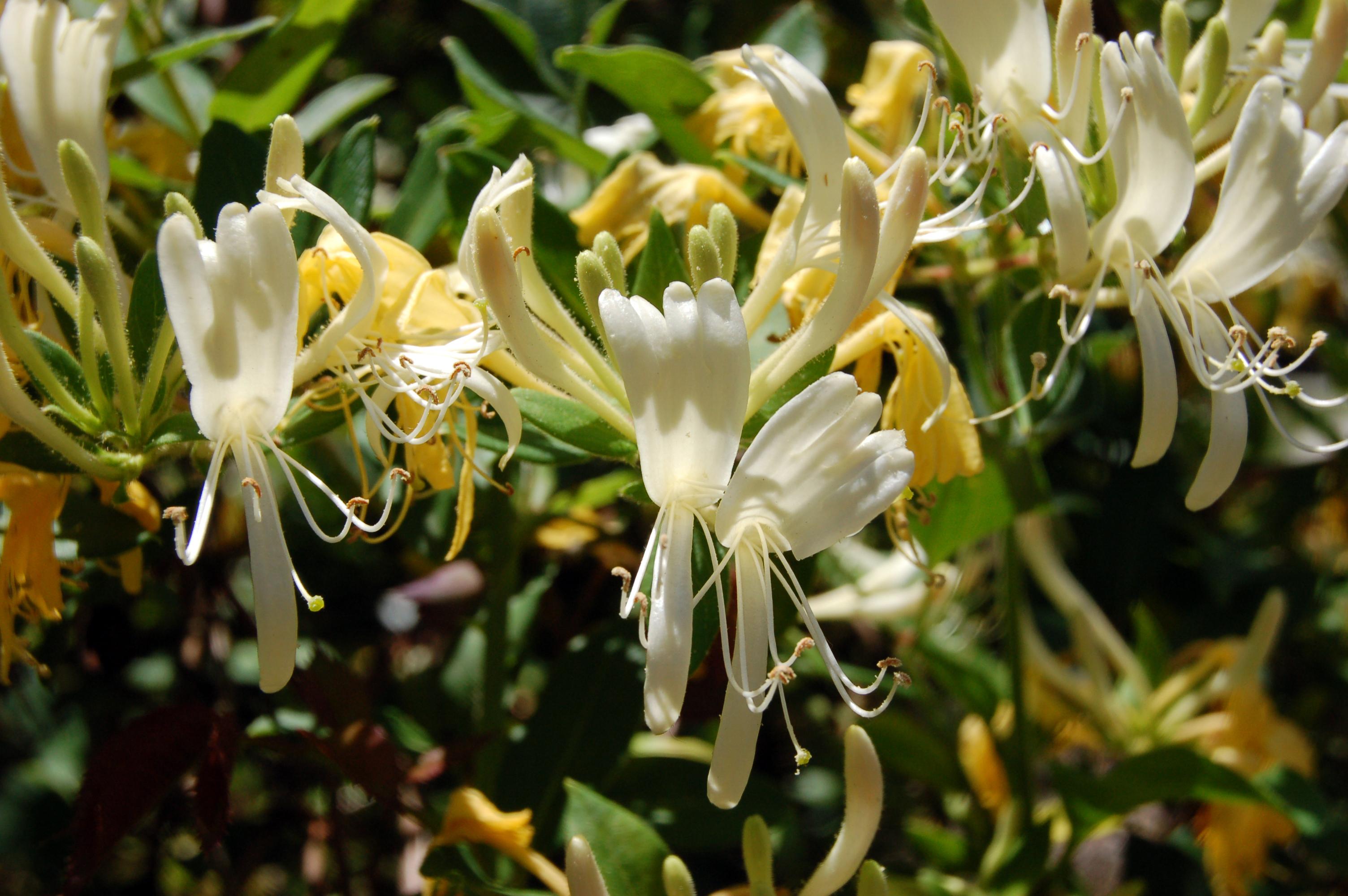 honeysuckle blooms