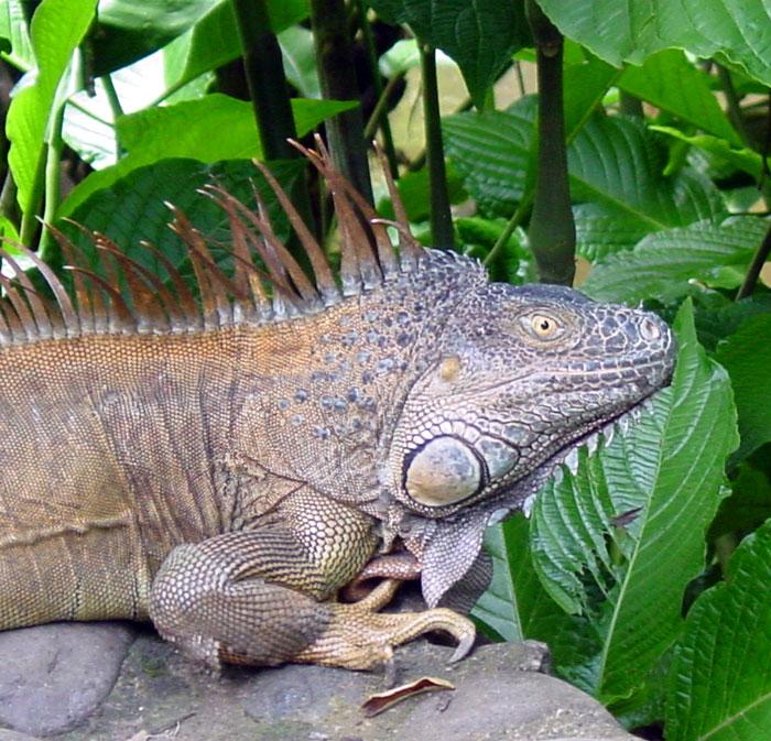 iguanas211.jpg - Green Iguana (male)