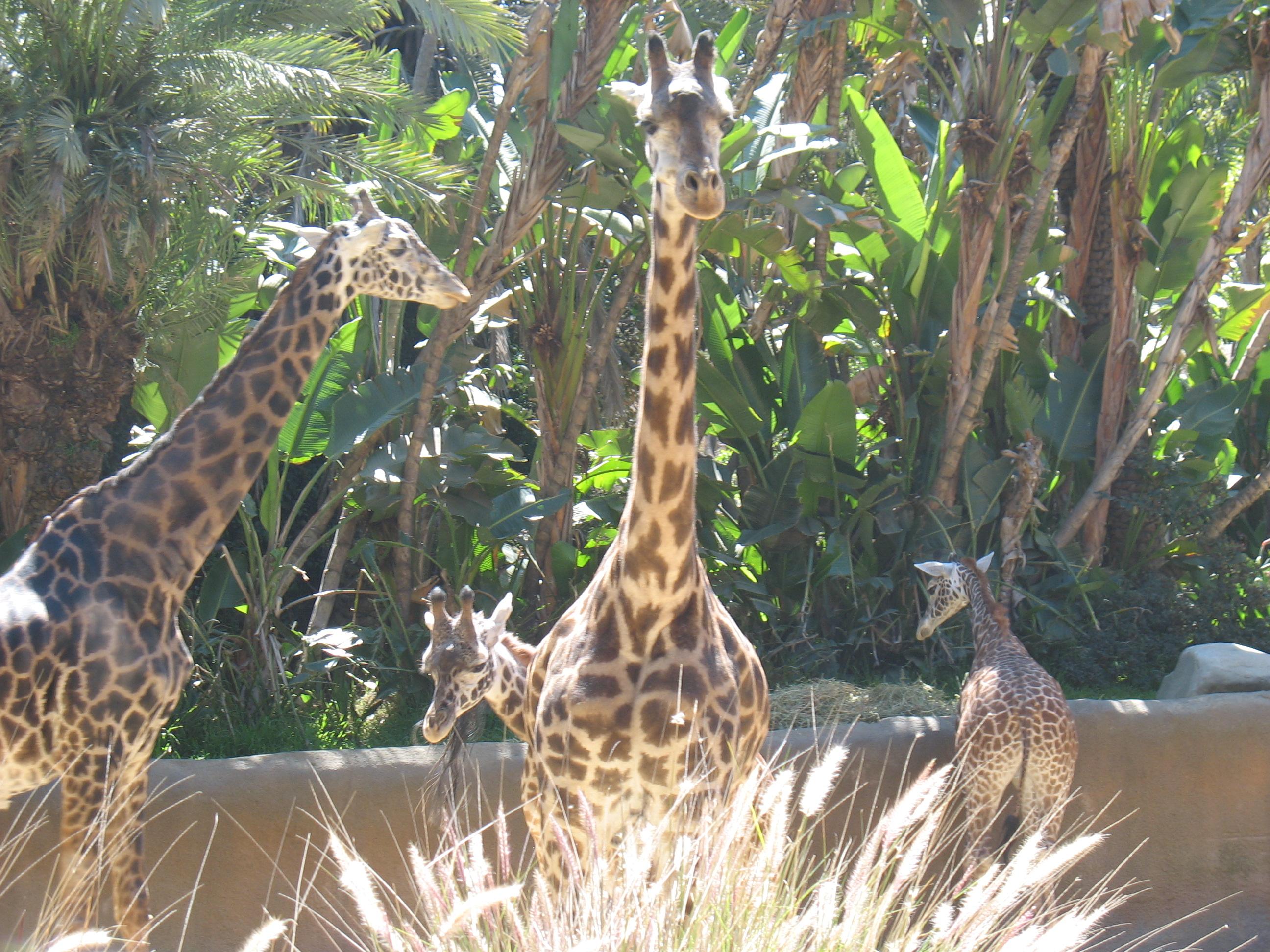 img_3223.jpg - Giraffes