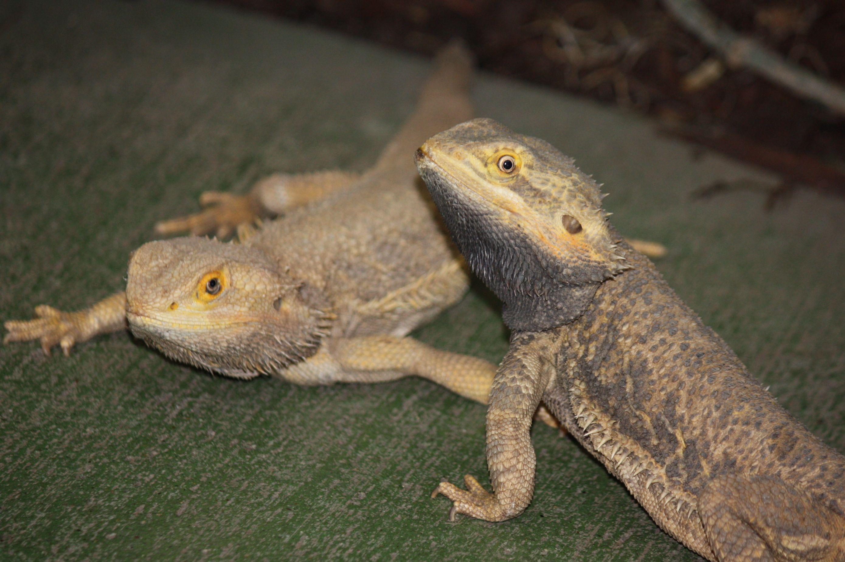 lizards.jpg - Bearded Dragons