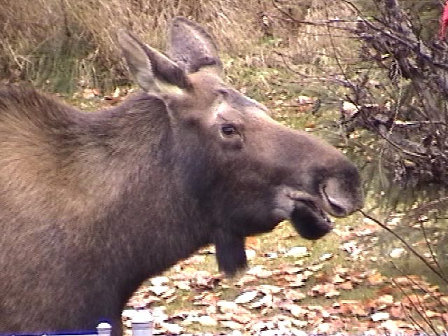 moose10-19-2003-3.jpg - Moose in Anchorage, Alaska