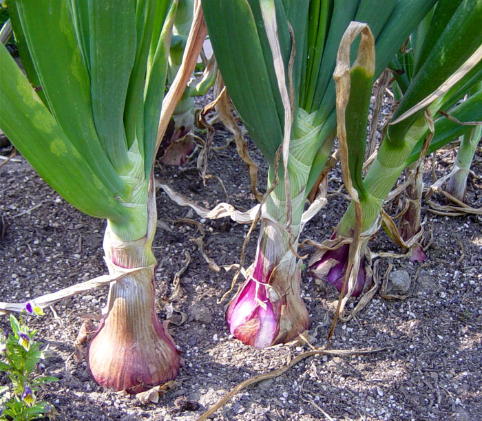 Gallery Images Of Onion Plant