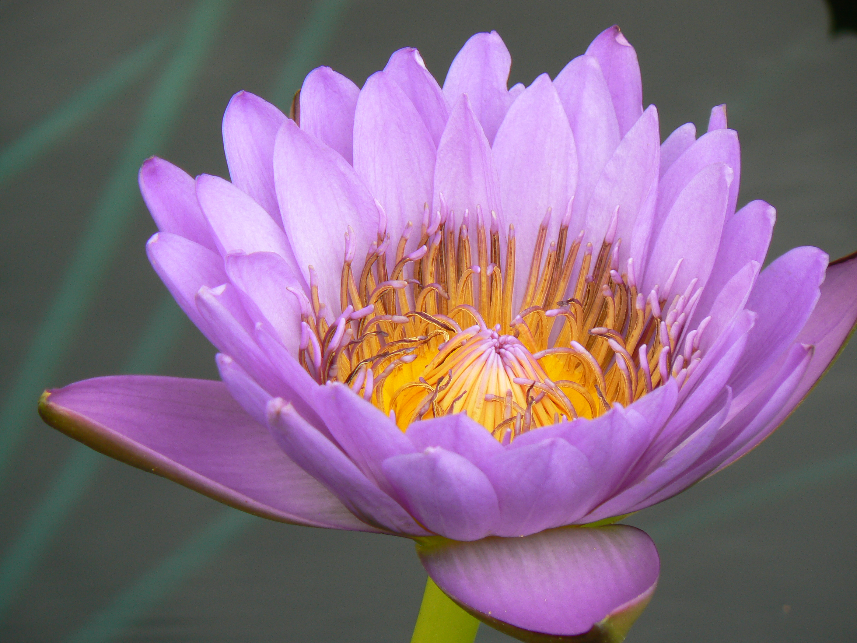 Water lily international water lily collection pics4learning water lily international water lily collection izmirmasajfo Image collections