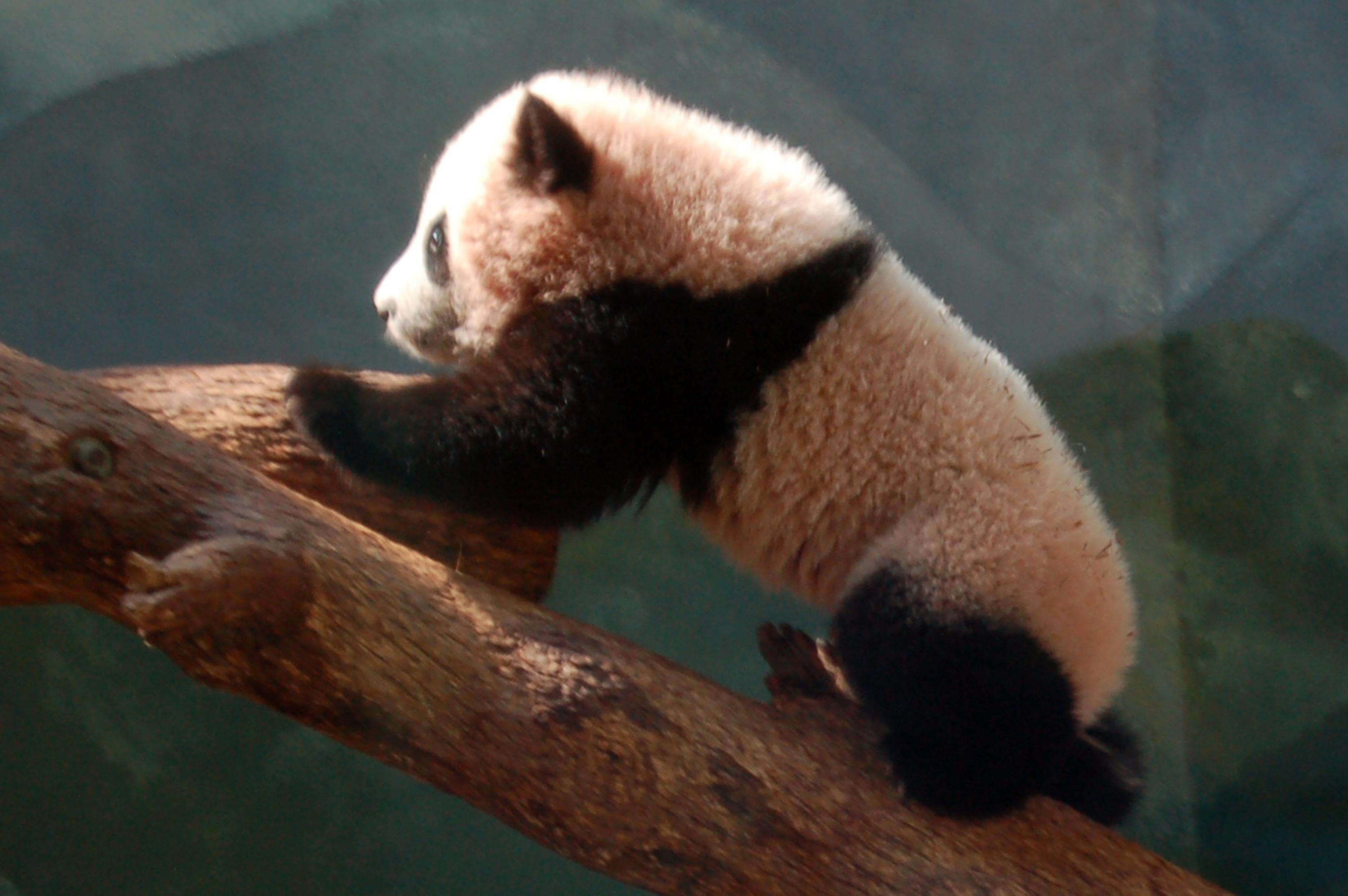 pandapo.jpg - baby panda, Po