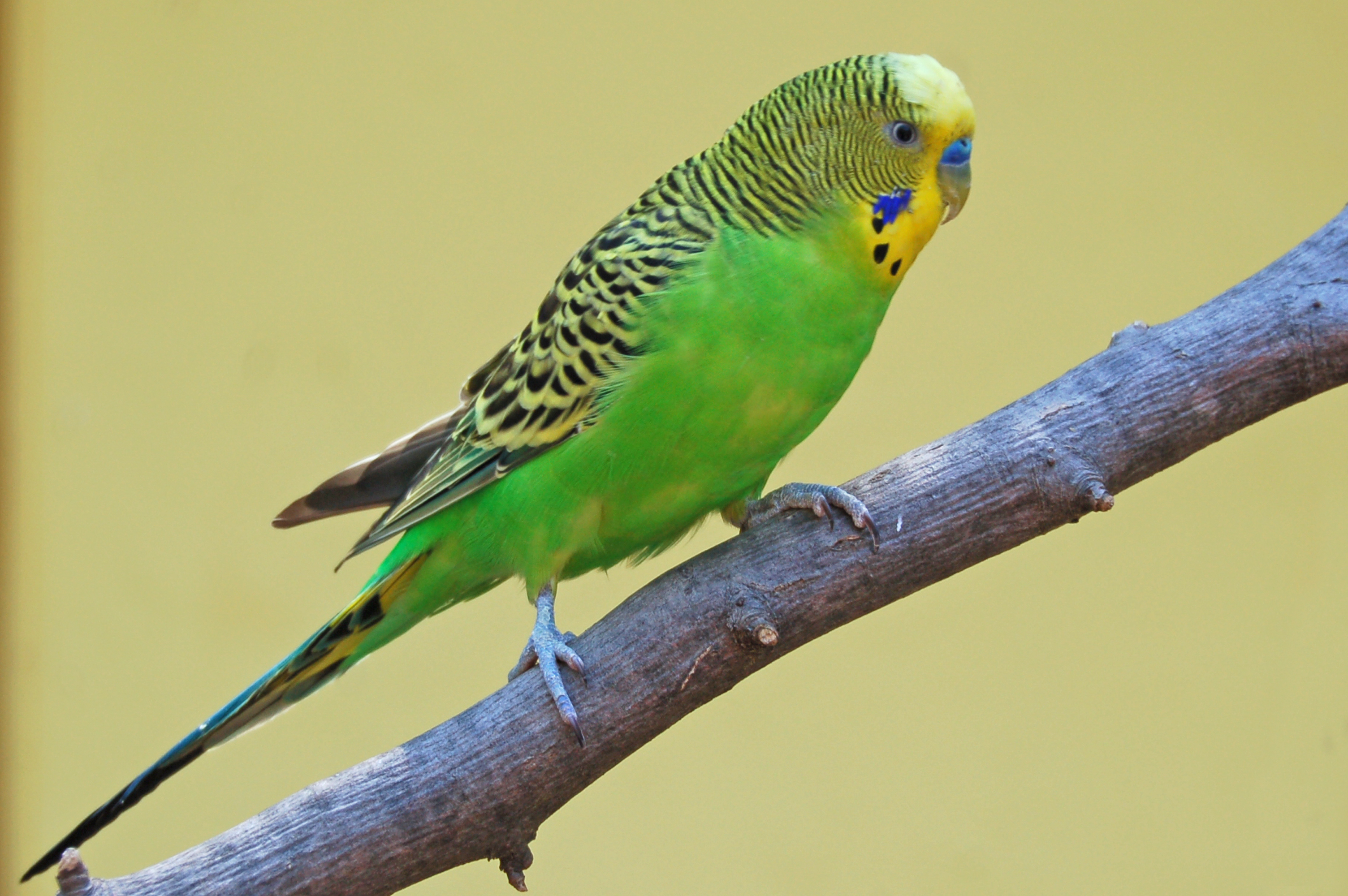 parakeet | Pics4Learning