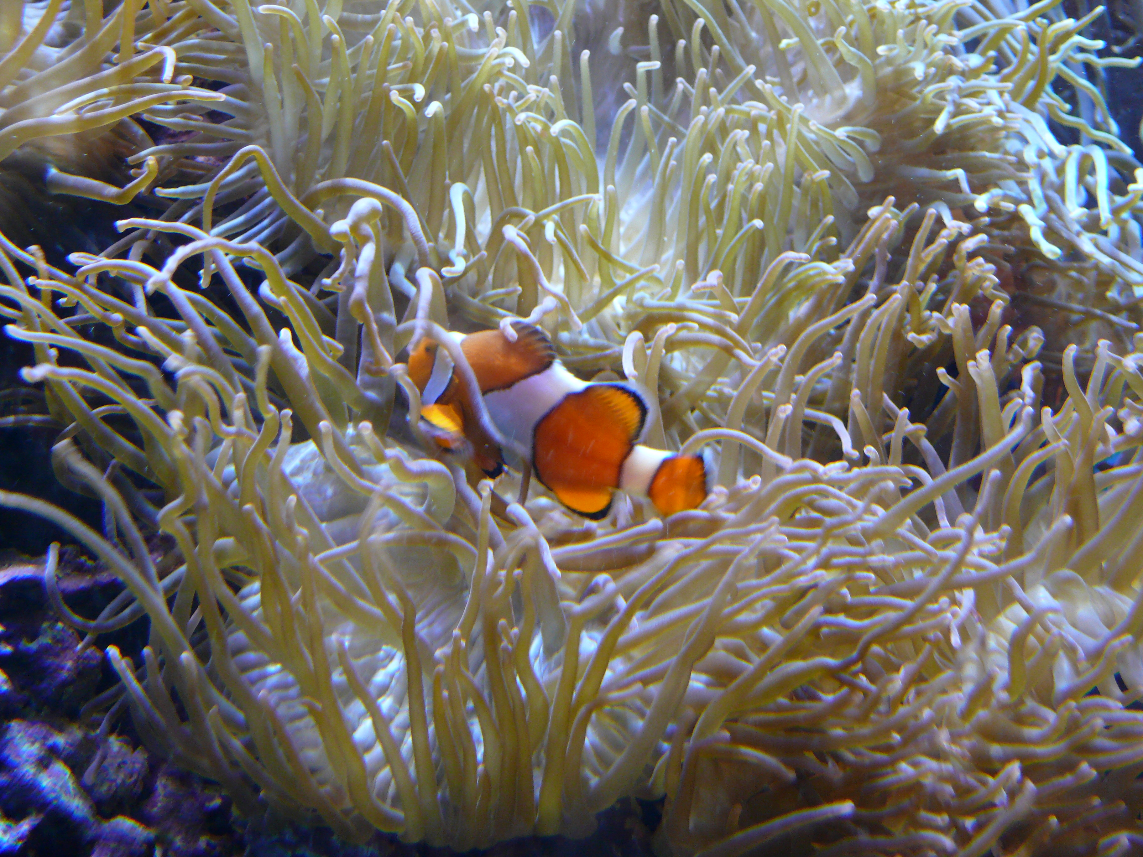 Clownfish and sea anemone for Clown fish facts