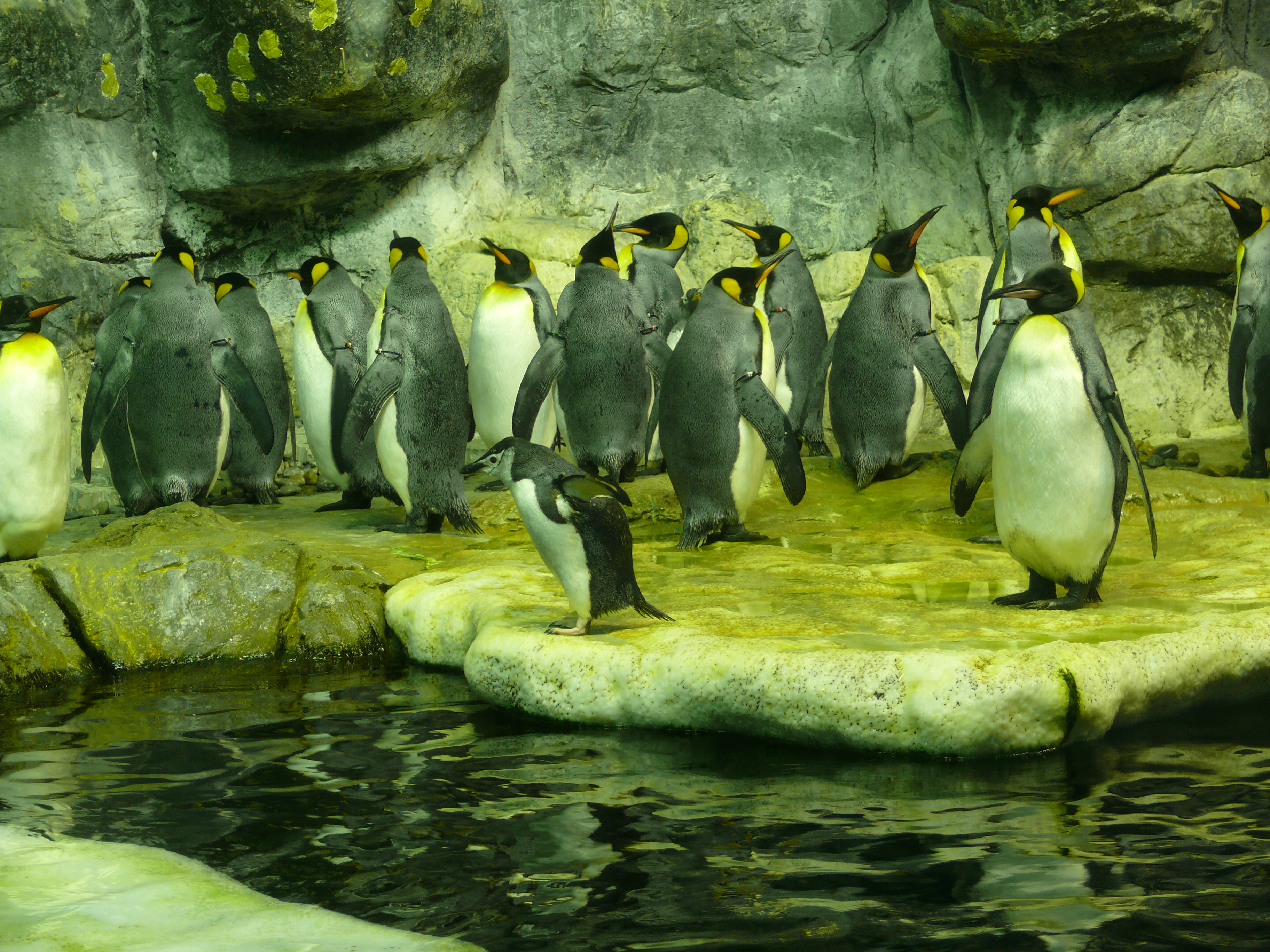 Penguins on display at the Moody Gardens aquarium Pics4Learning