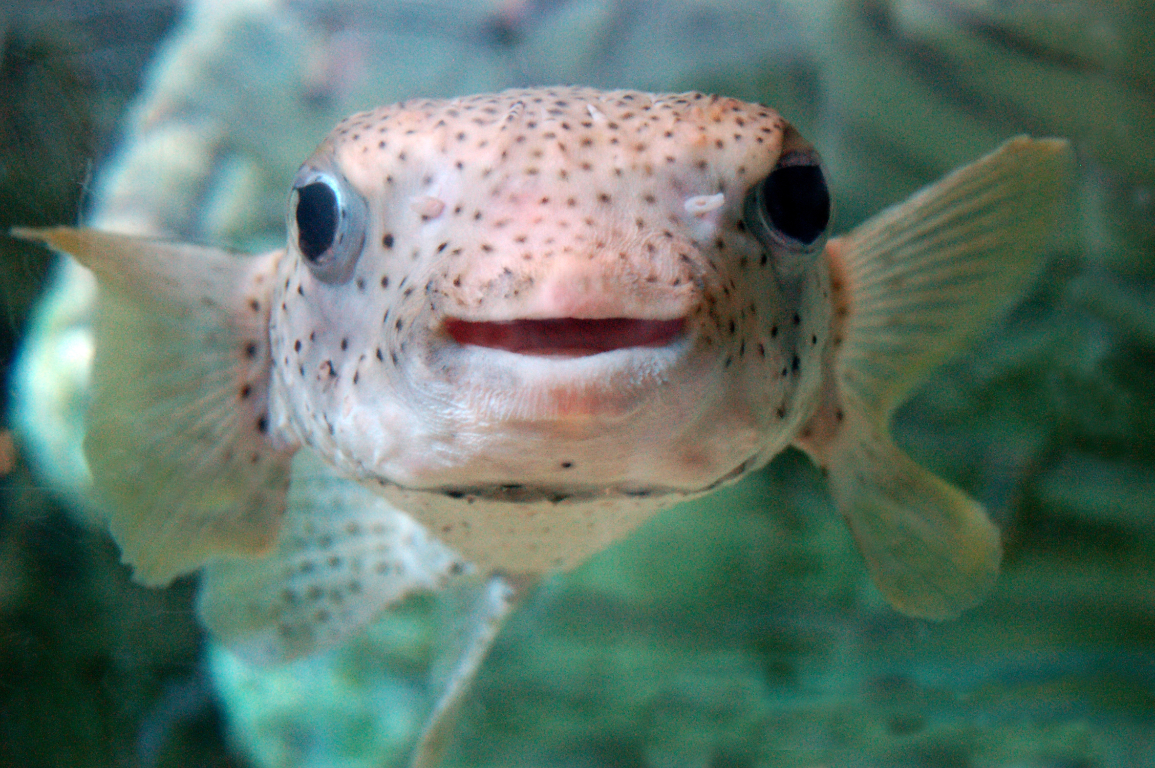 39 smiling 39 puffer fish pics4learning for Puffer fish images