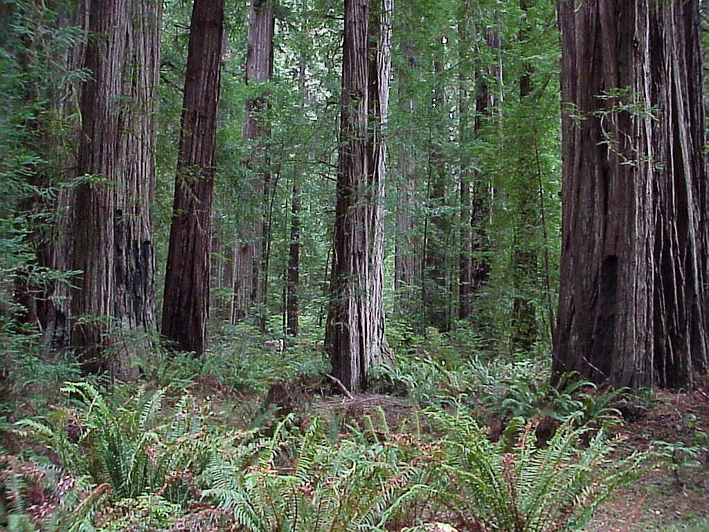 Redwood Forest Scene Pics4learning