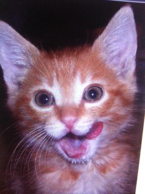 saxon.jpg - Saxon, the cutest orange tabby kitten in the world
