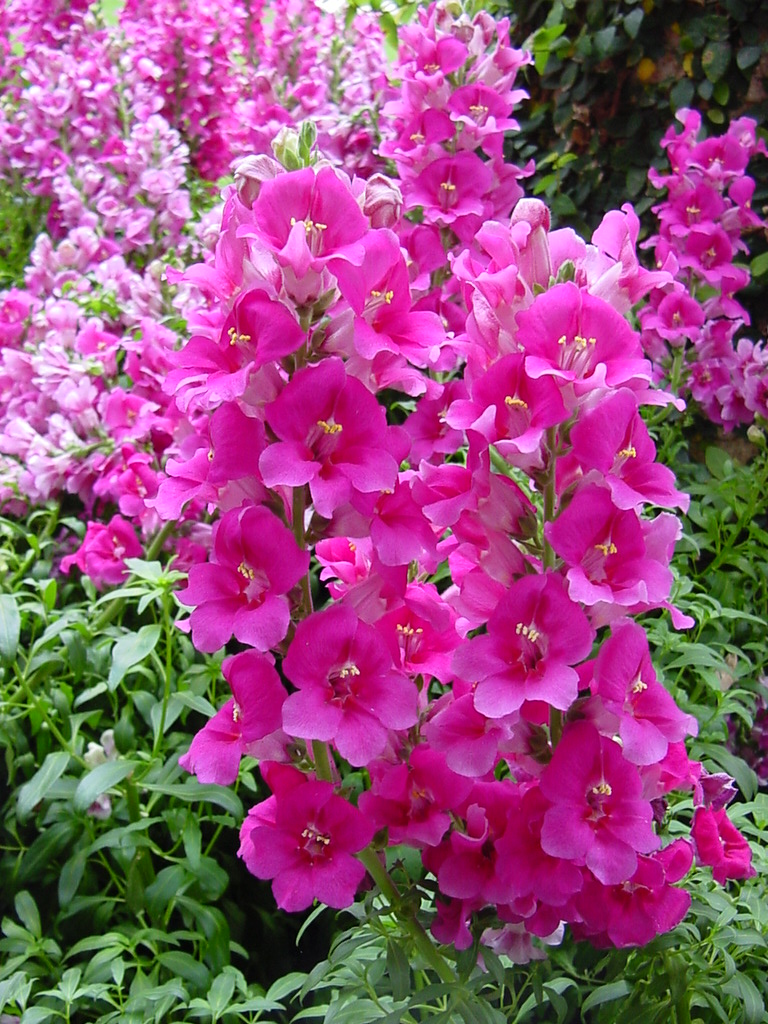 Pink Snapdragons | Pics4Learning