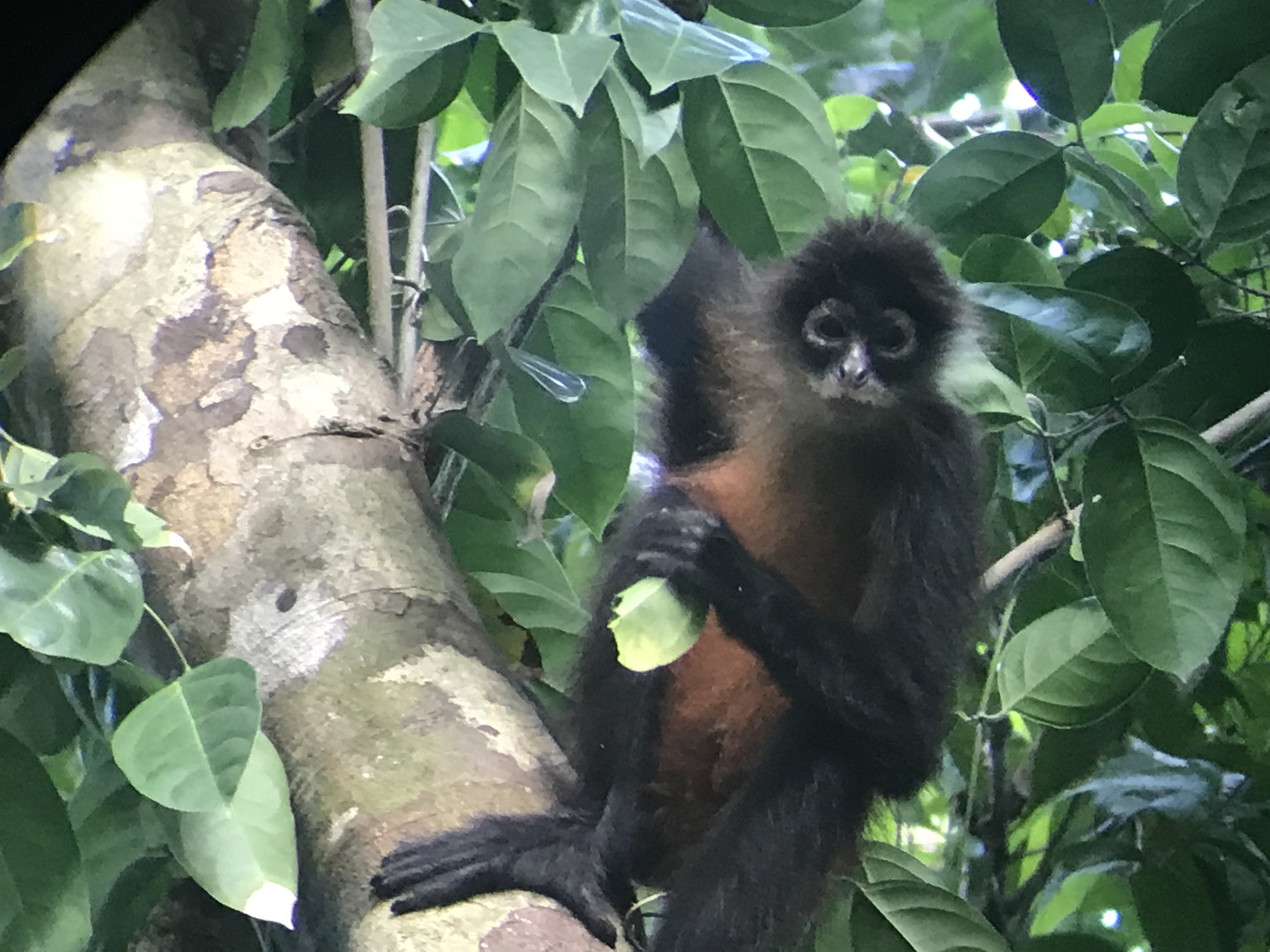 Spider Monkey Hanging in Costa Rica