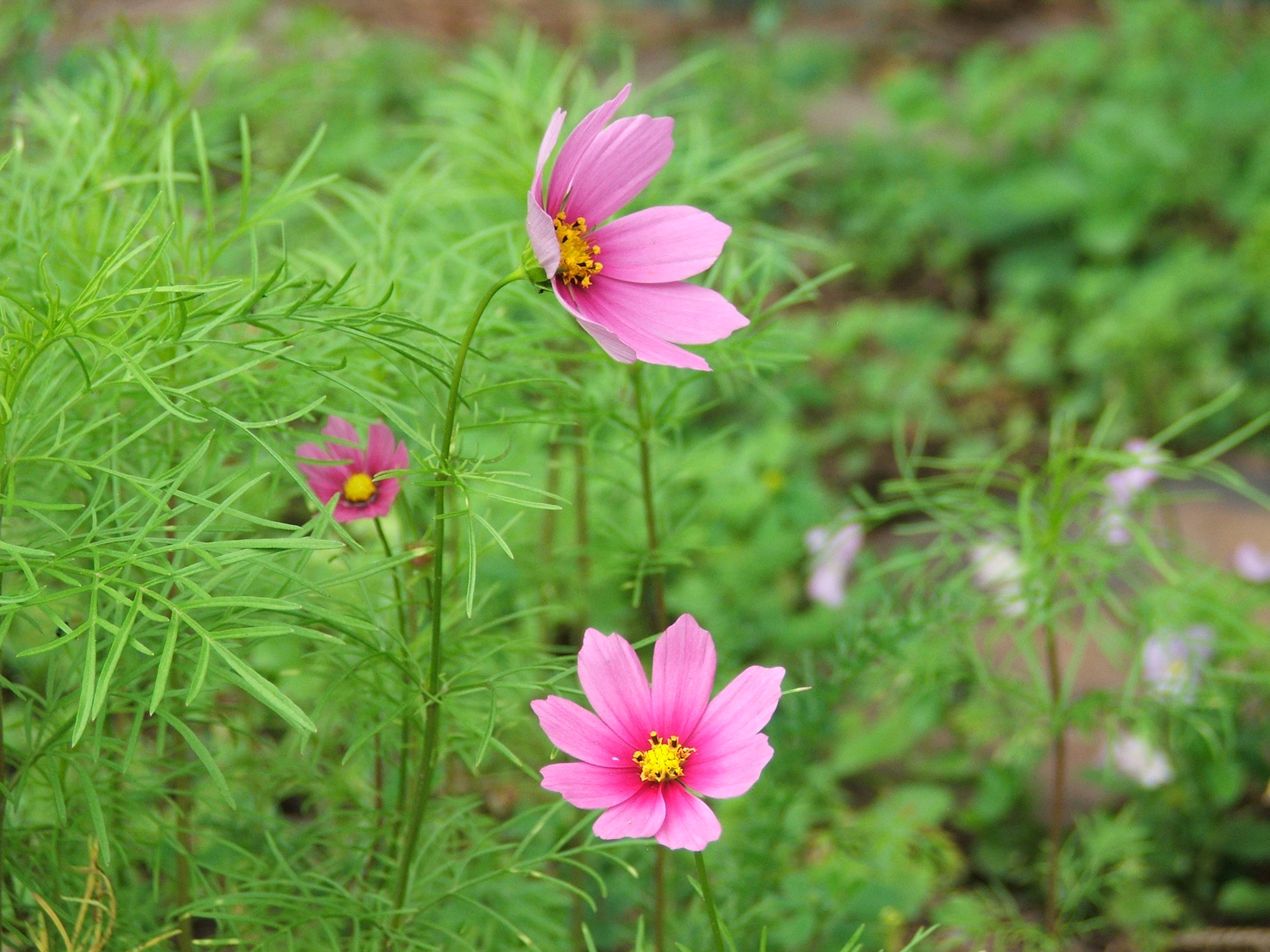 Cosmos Flowers Pics4learning