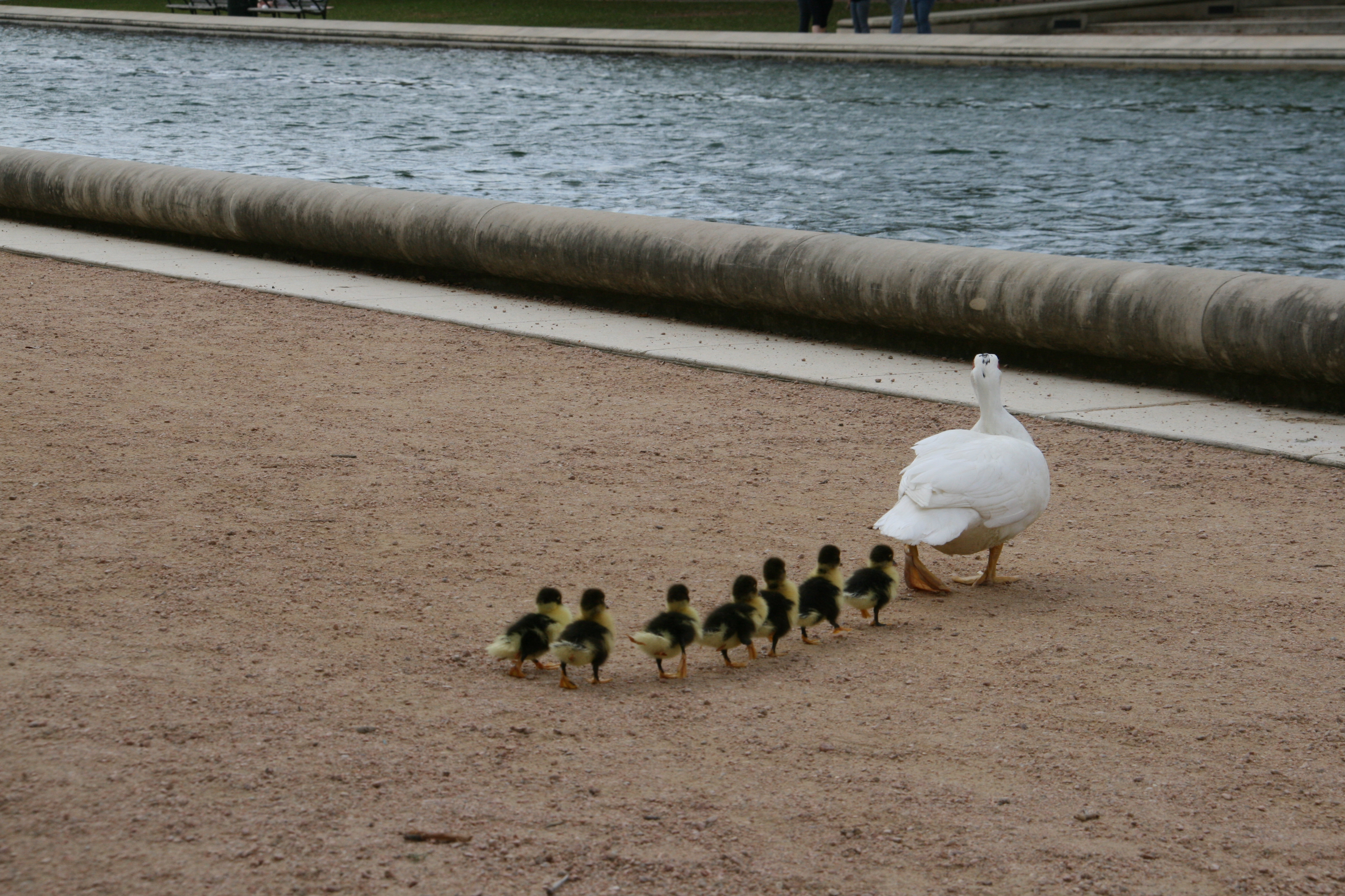 ducks in a row pics4learning