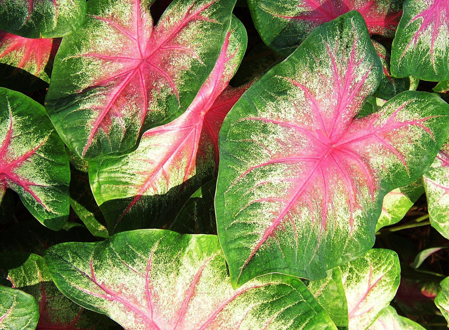 Elephant ear plant variegated pink pics4learning elephant ear plant variegated pink mightylinksfo