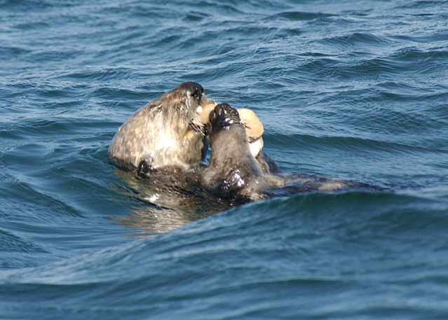 Southern Sea Otter Eating Red Octopus | Explore Ṁ‽ǩ€ §ρ!и ... |Sea Otters Eating Bears