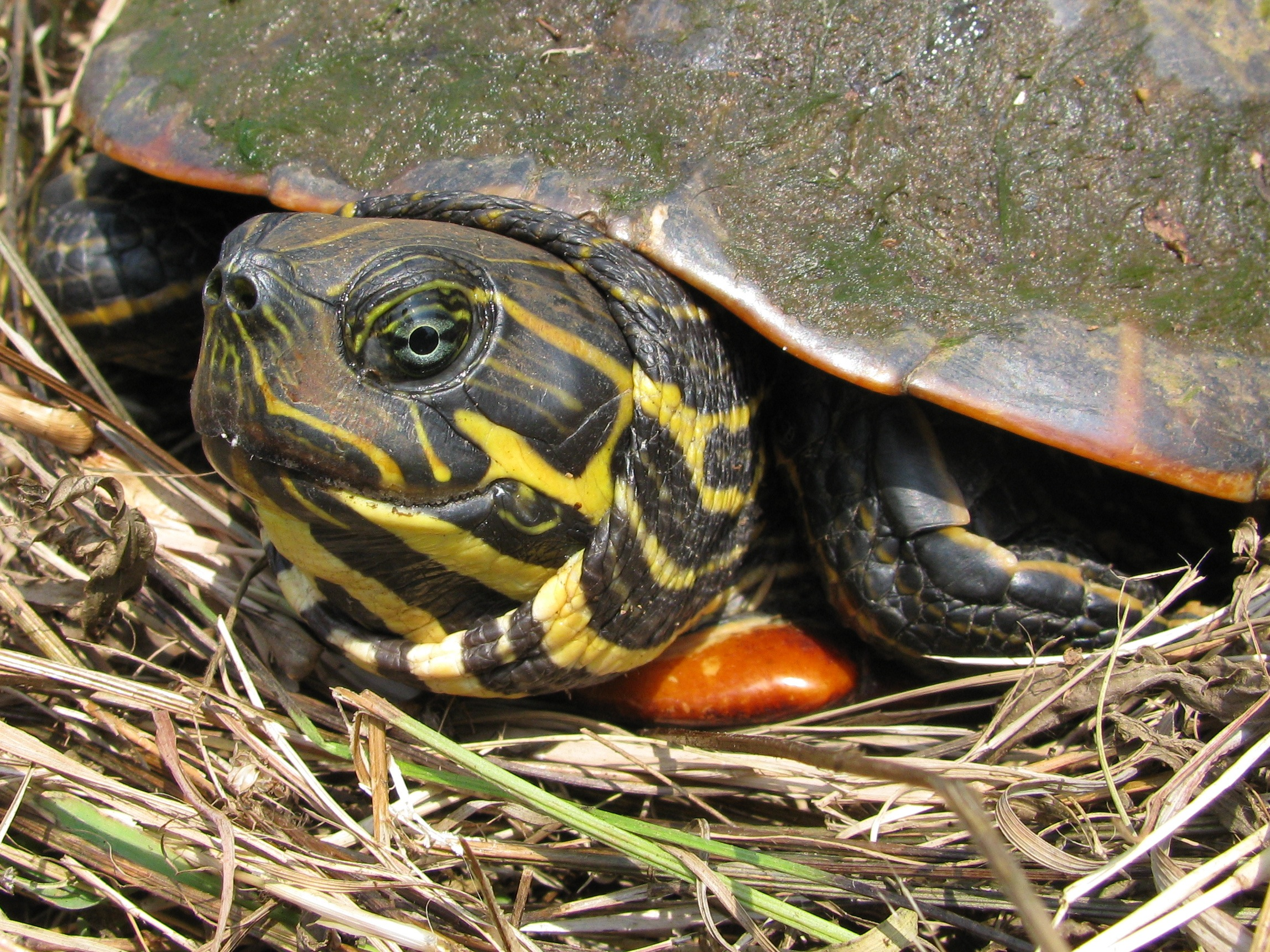 Slider Turtle (Family Emydidae)   Pics4Learning - photo#8